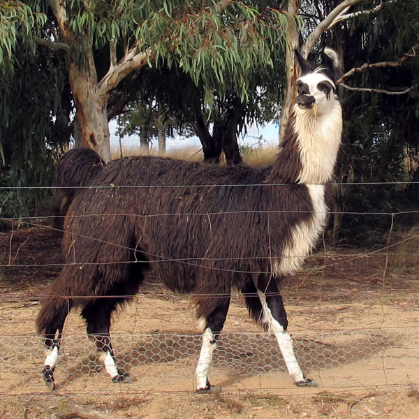 Wizard the llama standing in a field