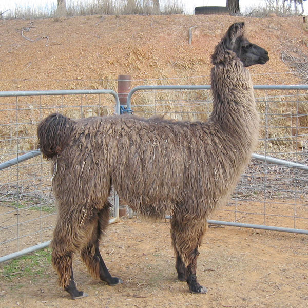 Chopin the llama standing in the field