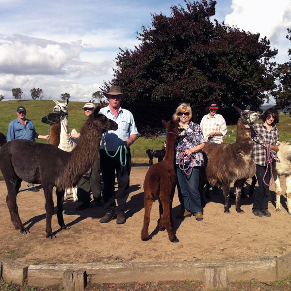 A group of people and tethered llamas and alpacas being shown how to handle them