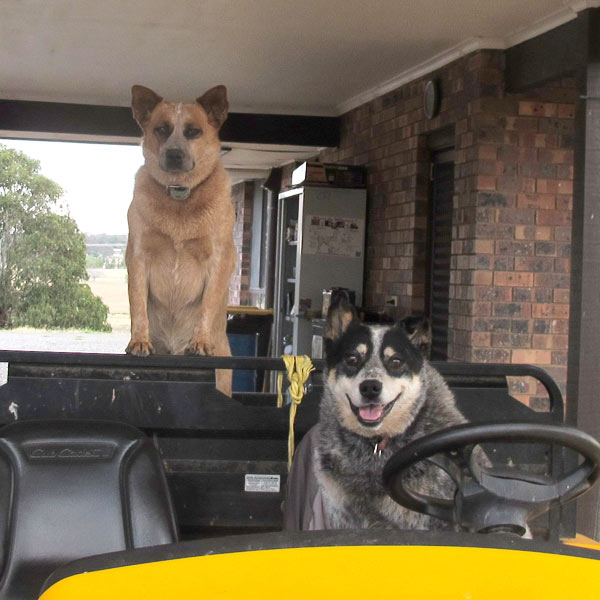 Millie and Tess the dogs sitting on the 6x6 farm truck