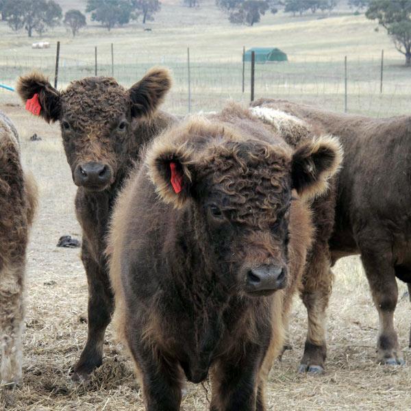 Minature galloway cattle grazing