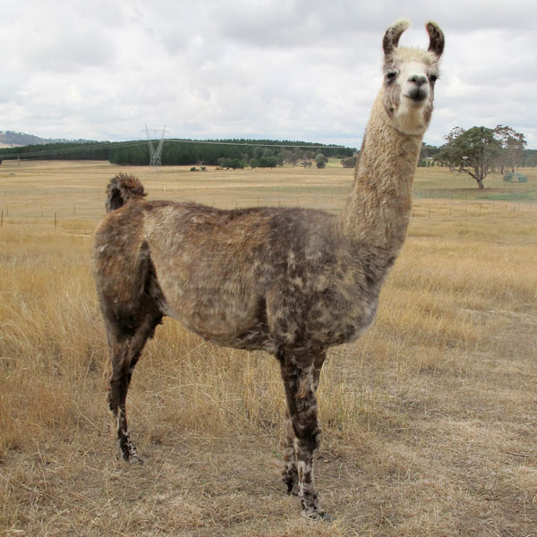 Rubin the llama standing in the field
