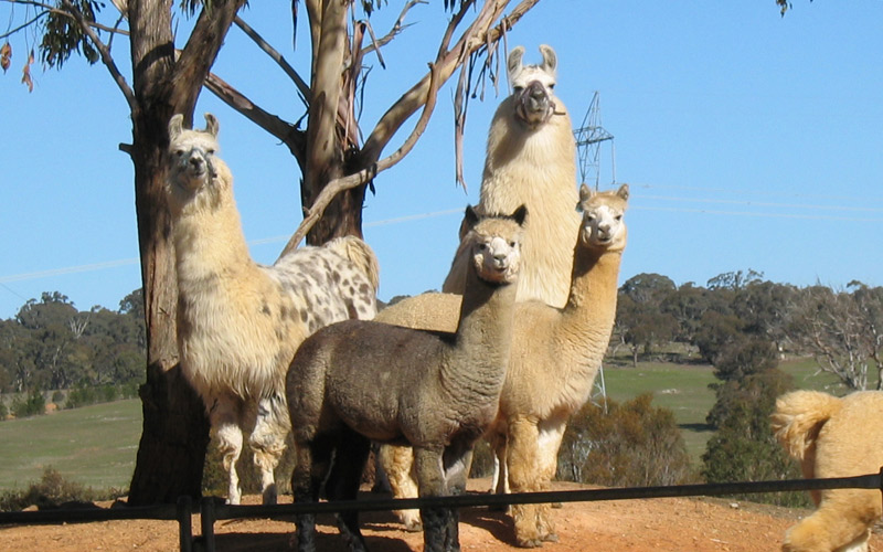 Llamas and alpacas standing on a hill watching the photographer