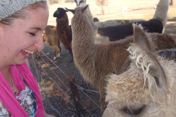 Feeding alpacas and llamas