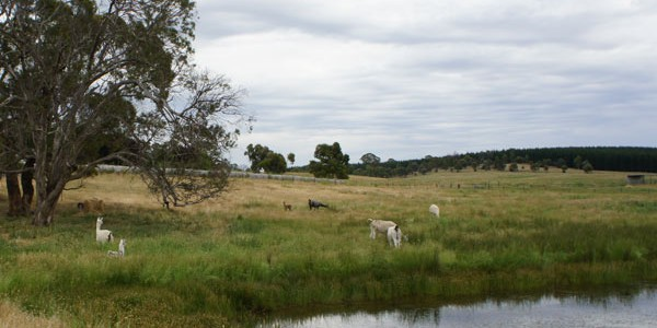 Llamas grazing in the paddocks