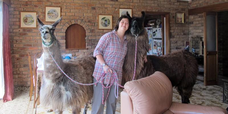 llamas inside the house