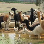Alpacas and llamas standing around, and swimming in, a pond