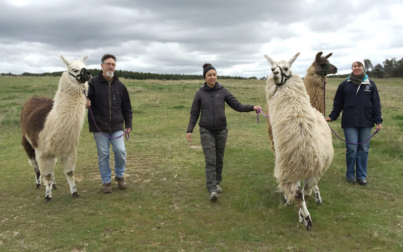 Three people taking llamas for a stroll through the paddocks