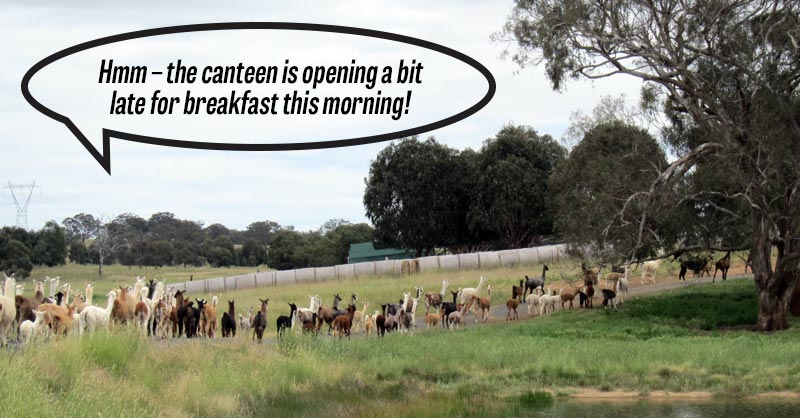 Llamas and alpacas queuing for breakfast with a quote that the canteen is opening late for breakfast