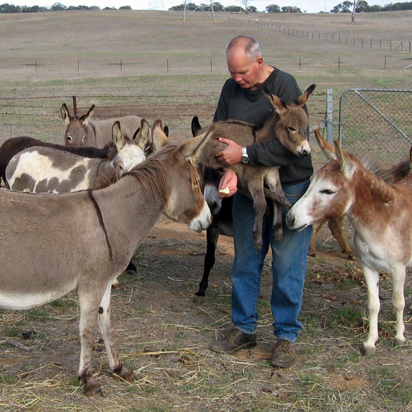 A man holding a donkey foal surrounded by its herd