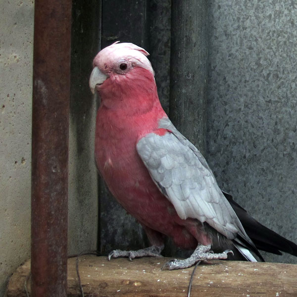A galah sitting on its perch