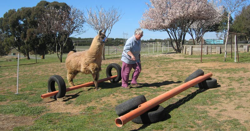 Lla Poleon undertaking training at Alpaca Magic