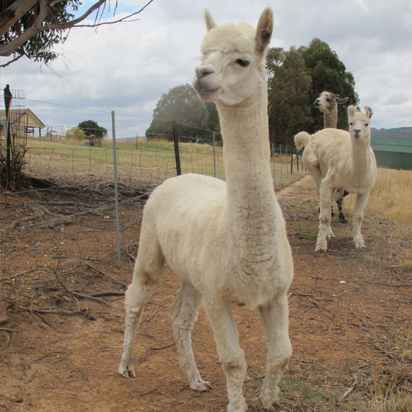 Manfredo the alpaca standing in the bush