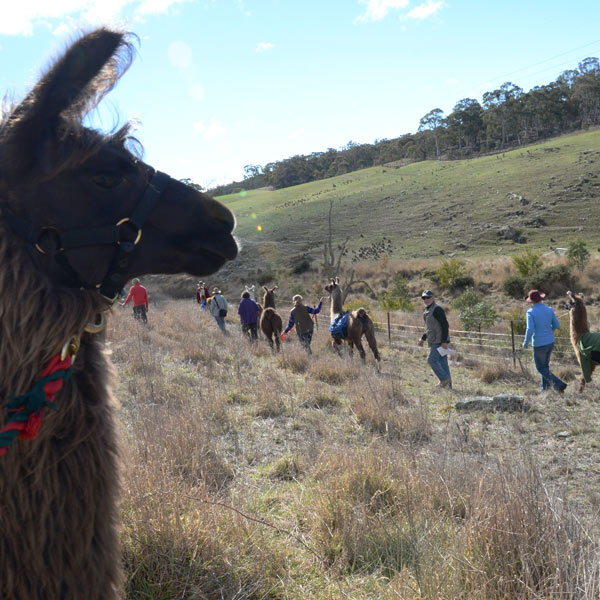 A photo from a llama walk with participants in the background and a llama in the foreground