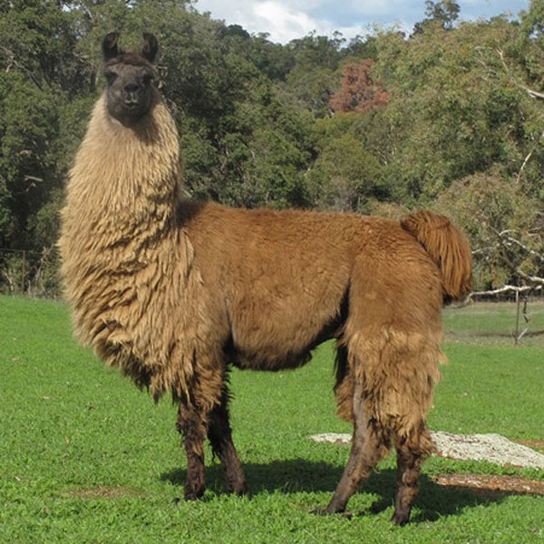 Thuja the llama standing in a field