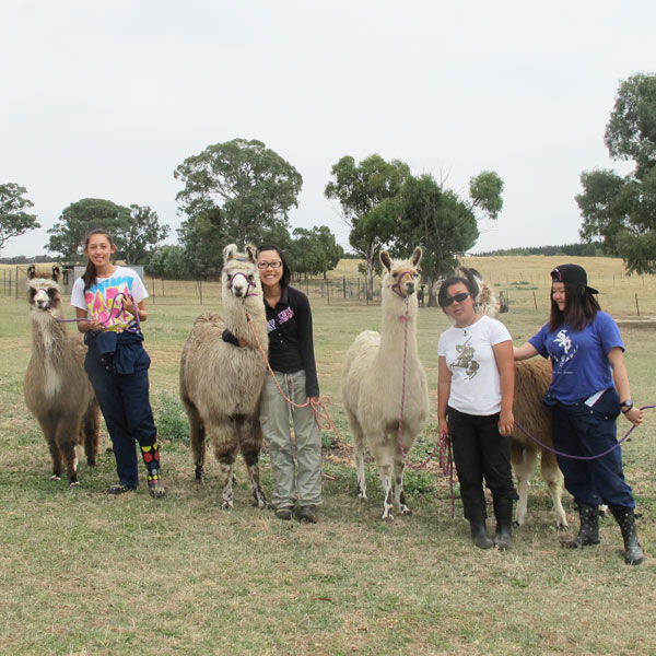 A line of vet students with their tethered llamas