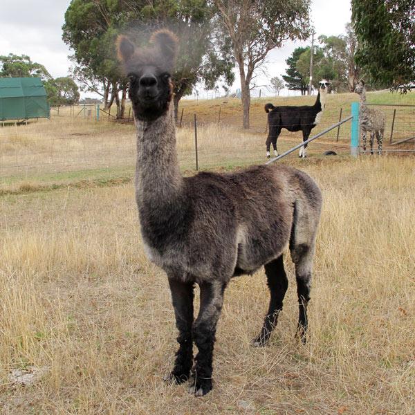 Zorro the alpaca standing in a field