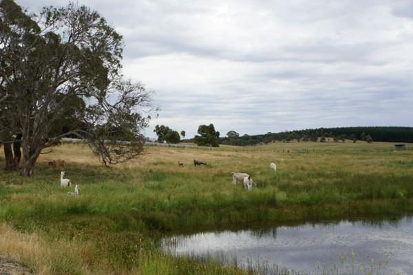 Llamas grazing in the paddocks