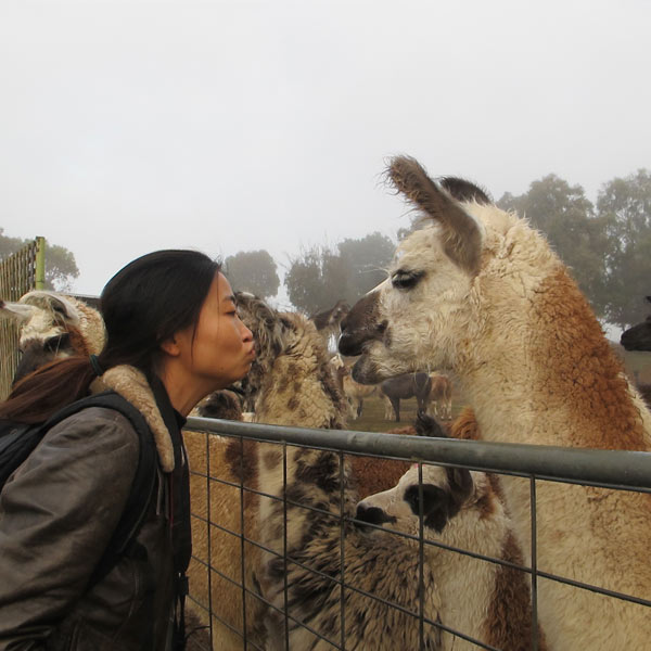A lady getting up close for a kiss with a llama on a guided walk