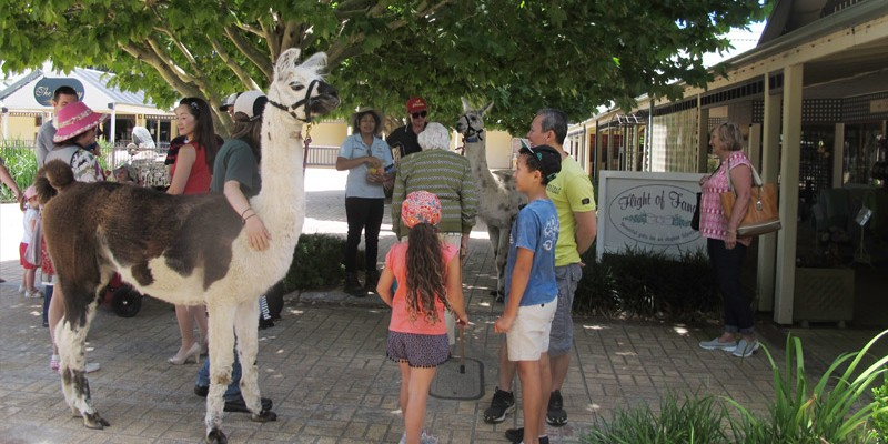 Llamas being walked around the town center