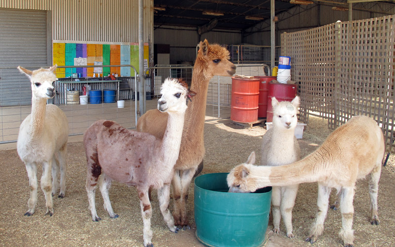 Young llamas and alpacas feeding and socialising in the yard