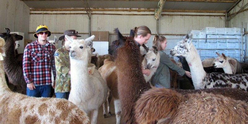 Vet students in the pen with llamas and alpacas
