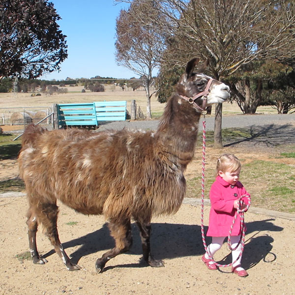 A toddler girl in a pink coat leading a llama around the yard