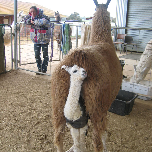 A cria standing underneath its mother facing the camera while the mother faces away